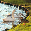 Swan and duck — Stock Photo