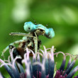 Blue Damselfly close-up of the eyes — Stock Photo