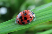 Ladybug on grass — Stock Photo