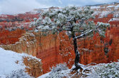 Bryce Canyon Pine Tree in Snow — Stock Photo