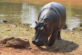 Hippopotamus in Mlilwane Wildlife Sanctuary. — Stock Photo