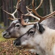 Stock Photo: Two reindeer heads