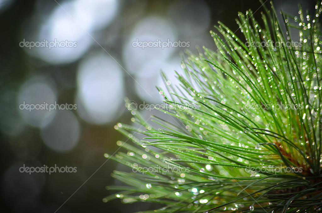 Needles on pinetree branch background — Stock Photo #12325207