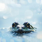 Close up frog watching from the wather — Stock Photo