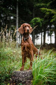 Irish Setter standing in the meadow with forest background — Foto Stock