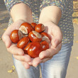 Conker in palms — Stock Photo