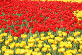 Red and yellow tulips — Stok fotoğraf