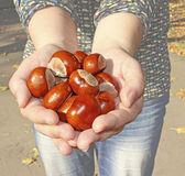 Conker in palms — Stock Photo