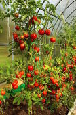 Red tomatoes in a greenhouse — Stock Photo