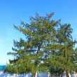 Stock Photo: Large spreading tree larch
