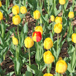 One yellow-red tulip among yellow tulips set — Stock Photo