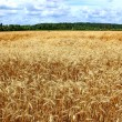 Field of ripe rye — Stock Photo #16628833
