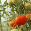 Spraying tomatoes in greenhouse — Stock Photo #17384415