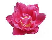 öppnade blomma av rosa tulpaner — Stockfoto
