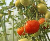 Sprutning tomater i växthus — Stockfoto