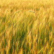 Rye field — Stock Photo #17663669
