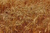 Field of ripe rye — Stock Photo