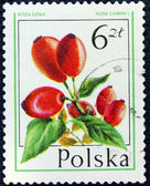 Postage stamp with the image of the rosehip — Stock Photo