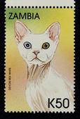 Timbre-poste avec l'image de la chat devon rex blanc race. — Photo