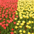 Two groups red and yellow tulips — Photo