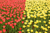 Two groups red and yellow tulips — Stock Photo