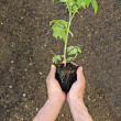 Young tomato sprout in hand — Stock Photo