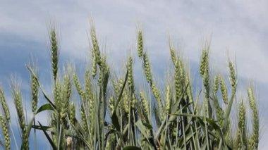Espigas de centeio, de milho, balançando ao vento contra um céu azul — Vídeo stock