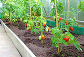 Tomatoes in a greenhouse — Stock Photo