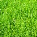 Lawn grass — Stock Photo