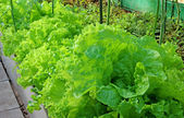 Lettuce growing in the greenhouse — Stock Photo