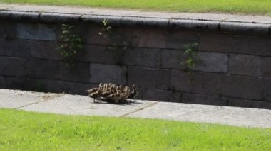 Many small fluffy ducklings restlessly run — Stock Video