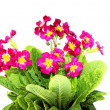 Red primrose flowers isolated — Stock Photo #31016537