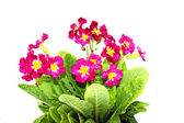 Red primrose flowers isolated — Stock Photo