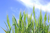 Rye spikelets — Stock Photo
