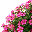 Pink petunia flowers — Stock Photo
