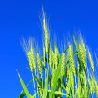 Rye ears against the blue sky  — Stock Photo