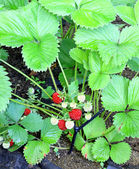 Garden strawberry plant with ripening berries — Stock Photo