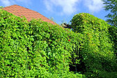 Arbor in thickets of wild grapes — Stock Photo