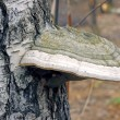 Bracket fungus fungus on the trunk of an old birch tree — Stock Photo #33306515