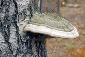 Bracket fungus fungus on the trunk of an old birch tree — Stock Photo
