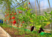 Ripening tomatoes and eggplant in greenhouse — Stock Photo