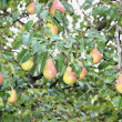Fruit on the branches of pear tree — Stock Photo #34338269
