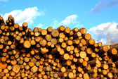 Many of pine and spruce logs in logging — Stock Photo