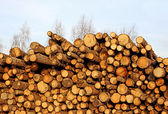 Harvesting timber logs — Stock Photo