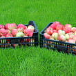 Harvest red and yellow apples in two plastic boxes — Foto Stock