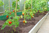 Many bushes of tomatoes in the greenhouse — Stock Photo
