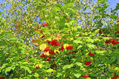 Bright red clusters of berries of Viburnum on the branches — Foto Stock