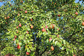 Many red pear fruit on the branches — Stock Photo