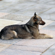 Watchful brown dog lying on the stone slabs — Lizenzfreies Foto