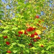 Bright red clusters of berries of Viburnum on the branches — Stock Photo